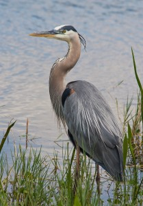 A visit from a great blue heron makes it a good day!